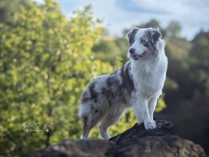 Chien berger australien sur son rocher