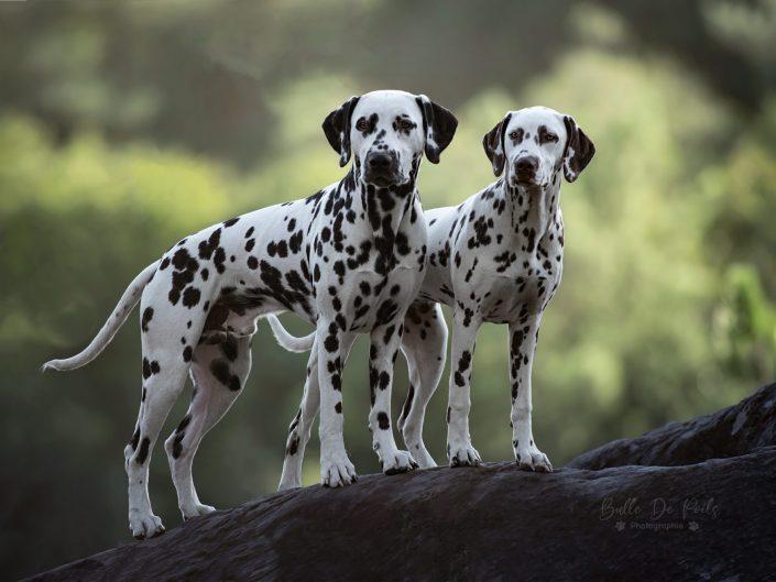 Duo de dalmatiens sur rocher