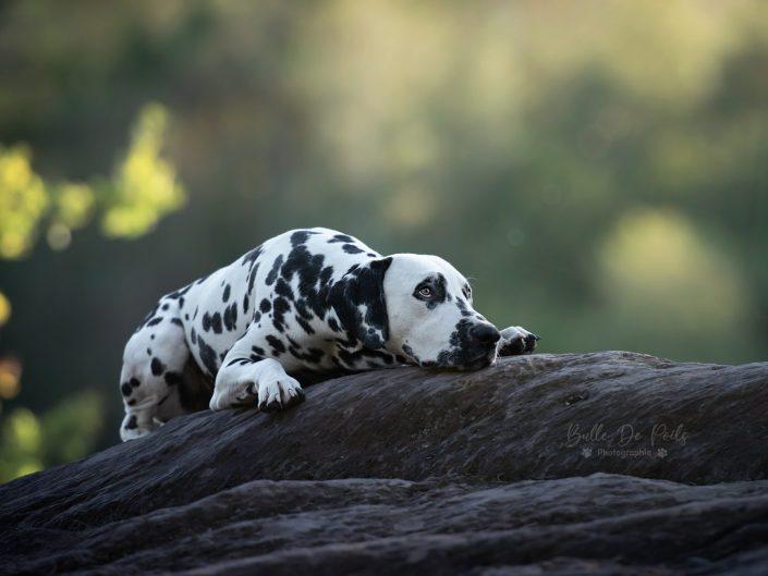 Chien dalmatien couché sur son rocher