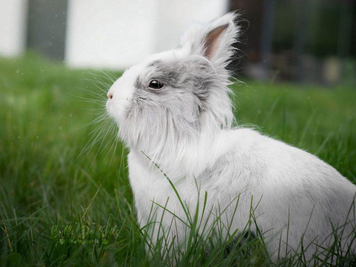 Lapin nain gris et blanc dans l'herbe Vitré