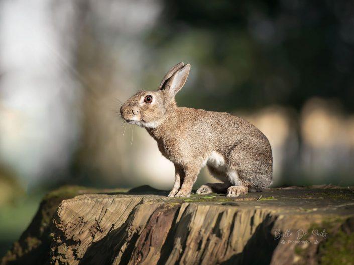 portrait lapin de garenne