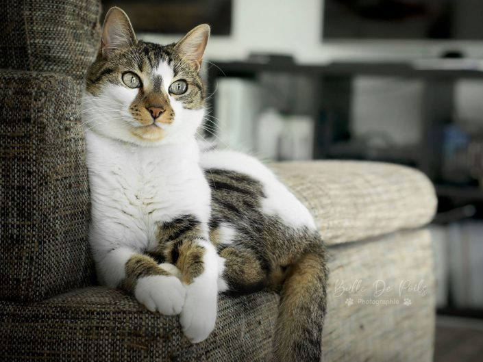 Chat tigré blanc sur canapé -portrait bulle de poils