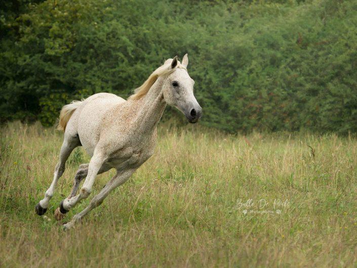 Cheval blanc galopant dans un champs