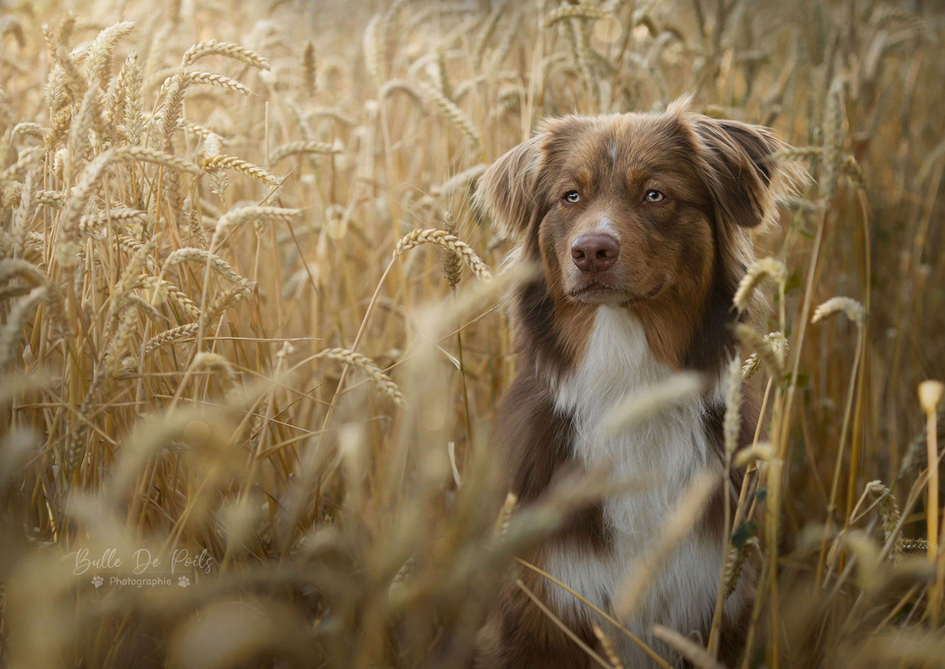 Chien berger australien rouge dans blé